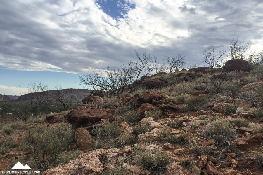 Some local wildlife in the hills around Alice Springs.